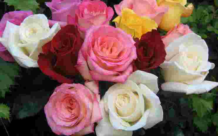 download wallpapernet - Macam Macam Jenis Bunga Mawar