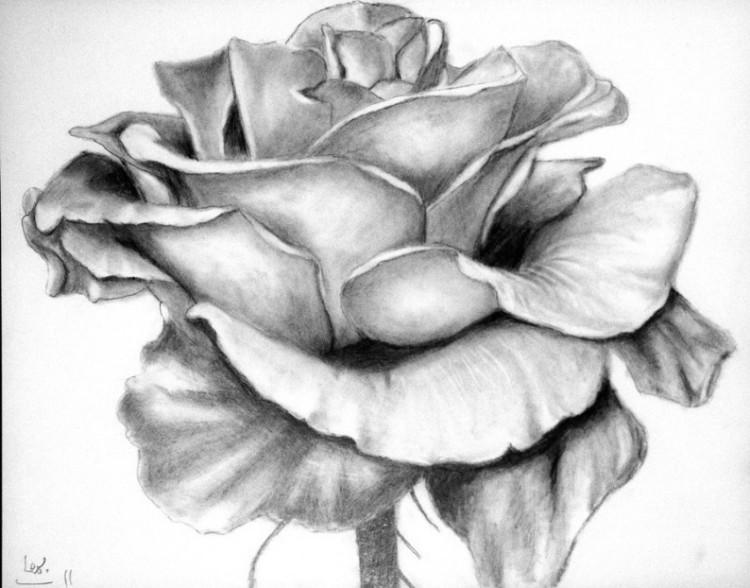 sketsa gambar bunga mawar pinterest com