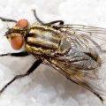 cara mengusir lalat di dalam rumah