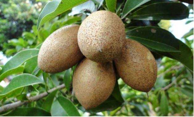 gambar buah buahan sawo