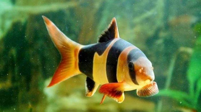 ikan hias air tawar langka – botia