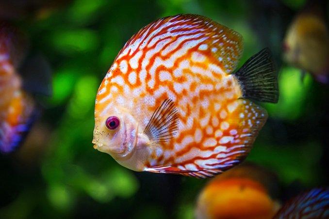 ikan hias tropis yang suka bersembunyi – ikan discus
