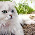 memilih makanan kucing persia dan anggora berdasarkan nutrisi