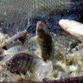 kelebihan ternak ikan nila