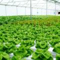 keuntungan menanam tanaman hidroponik