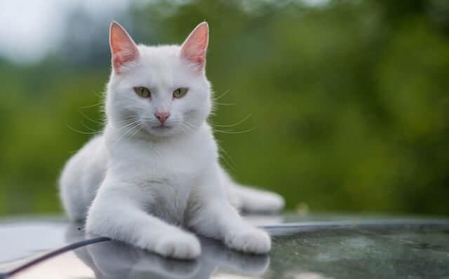 sifat kucing anggora
