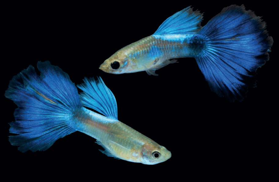 young pair champion purple